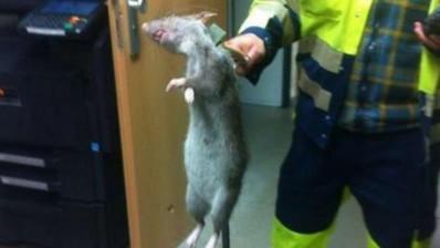 rata en Alemania