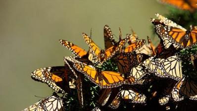 Mariposa Monarca Michoacán