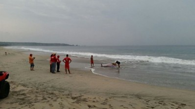 zífido muerto en playa Zicatela4