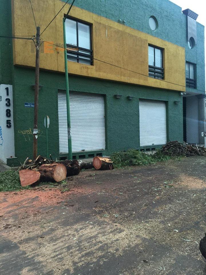 Vecinos de Morelia denuncian tala de árboles gigantes sobre Ventura Puente; Ayuntamiento omiso2
