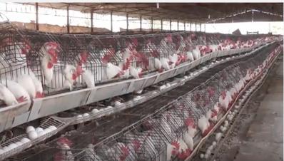 crueldad-en-gallinas-de-jalisco