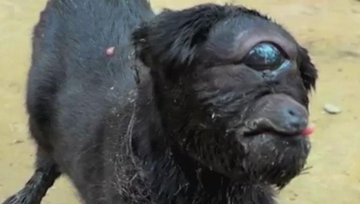 Cabra cíclope nacida en la India sorprende al mundo