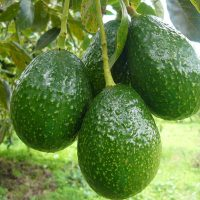 Los beneficios de las hojas de aguacate