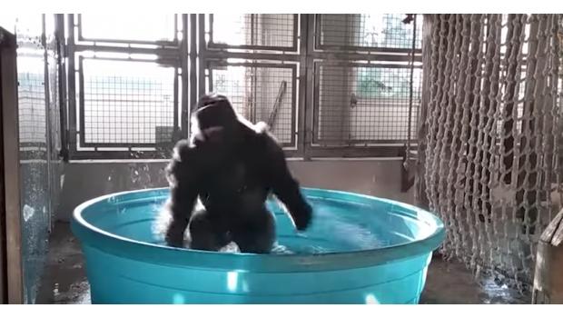 Gorila Baila al ritmo de 'Maniac'