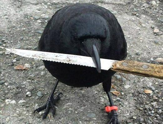 Canuk, el cuervo que aterroriza a un barrio en Canadá