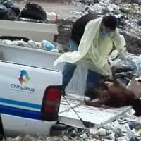 Video capta a empleados de Ayuntamiento tirando perros muertos en basurero de Chihuahua