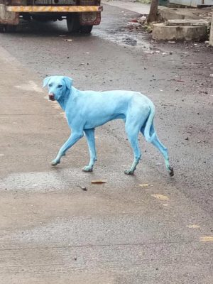 Perros se 'tornan' azules luego de beber agua contaminada de un río