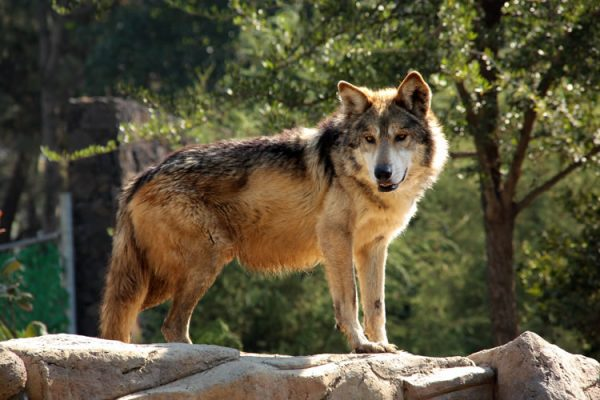 Lobo Mexicano, Ya No Se Considera Especie En Extinción