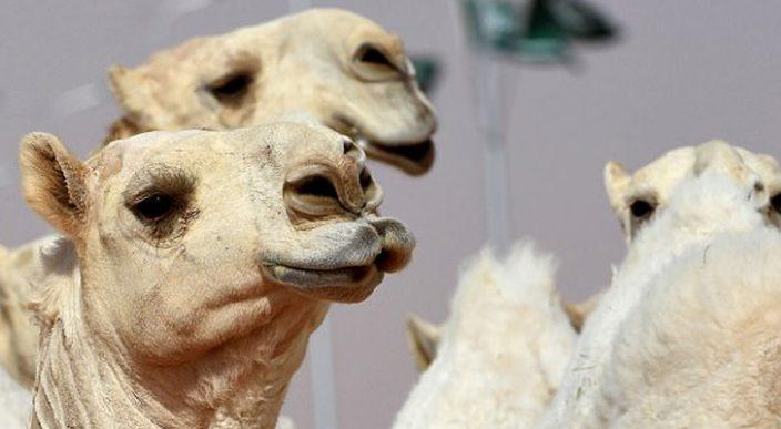 Doce camellos fueron descalificados de certamen de belleza por usar Botox — Arabia