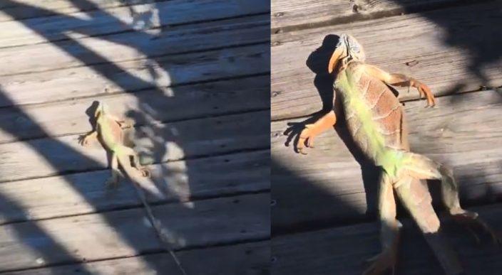 Iguanas congeladas caen de los árboles en Florida