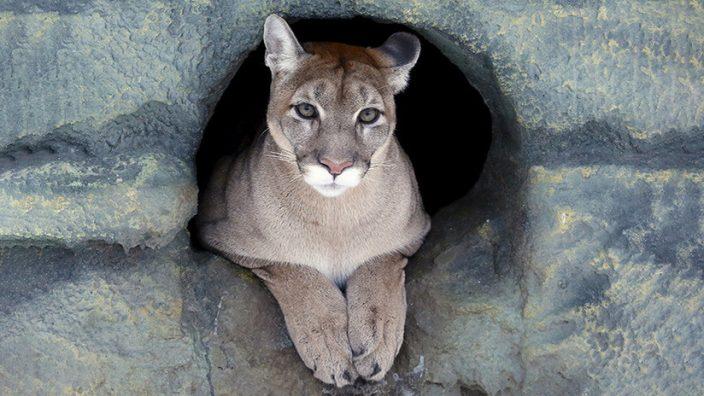 Puma Norteamericano fue declarado especie extinta