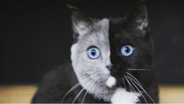 Felino de dos caras sorprende la Internet (fotos)