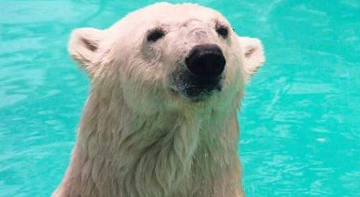 Piden no trasladar a Reino Unido a osa polar Yupik