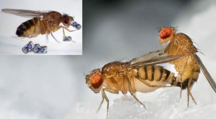 La falta de sexo en las moscas provoca que busquen bebidas alcohólicas: estudio