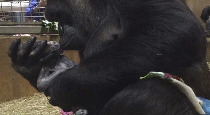 El parto de un gorila en el zoológico nacional de Washington