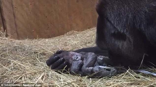 El conmovedor momento en que una gorila dio a luz