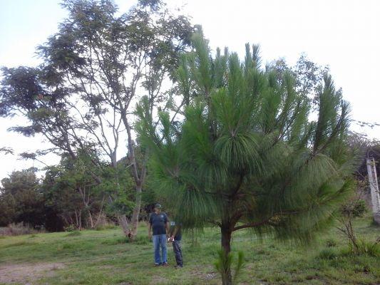 Presencia de especie pino michoacano