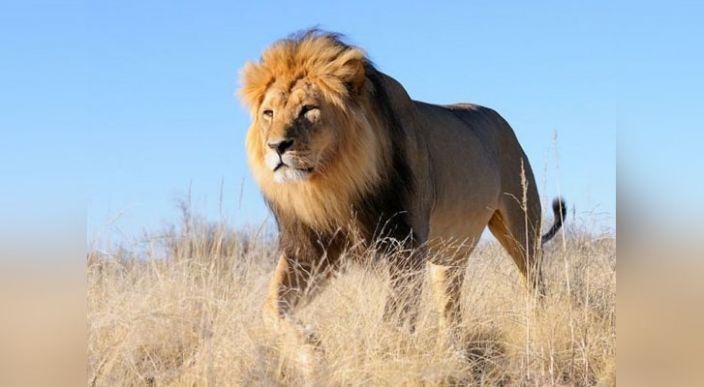 Un león ayuda a otro a escapar del ataque de una jauría de hienas
