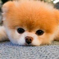 Muere Boo considerado el perrito más bonito del mundo