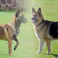 'Drum' el perrito 'mandadero' cautiva las redes sociales