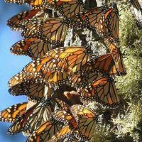 Han llegado 100 millones de mariposas Monarca al santuario de El Rosario