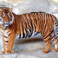 Tigresa en el zoológico del Bronx dio positivo a Covid-19