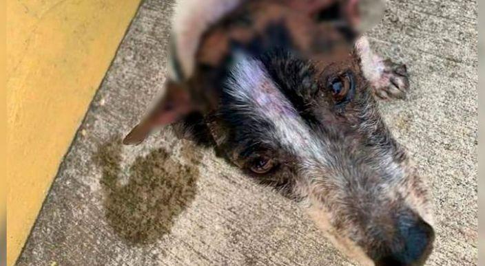 Queman con agua hirviendo a perro en Veracruz; Identifican presunto responsable