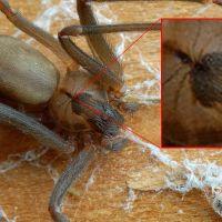 Alertan por supuesta plaga de arañas violinistas en la Alcaldía Miguel Hidalgo, en CdMx