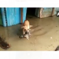 Perrita salva a su cachorro de una inundación (video)