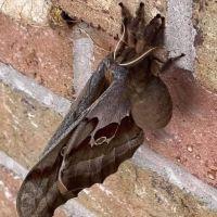 La verdad sobre las tarántulas con alas que circularon en redes sociales
