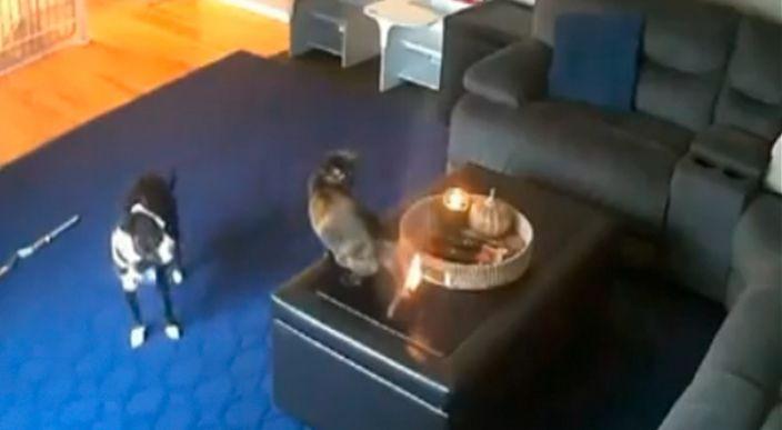 Gatito se quema la cola mientras jugaba con un perro y video se hace viral