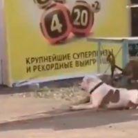 """Perro callejero """"libera"""" a un perro doméstico y lo lleva de paseo (video)"""