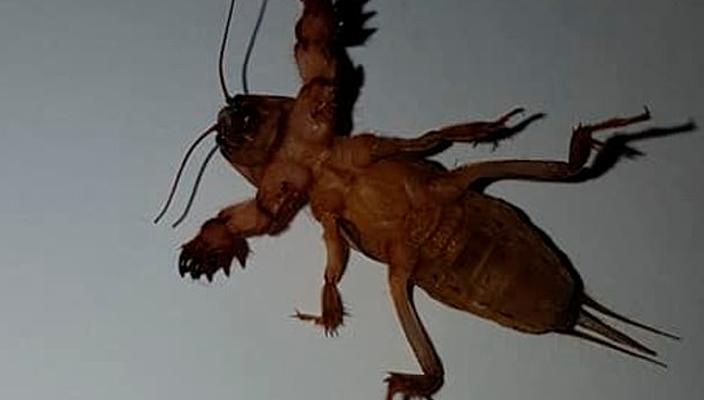 Mujer encuentra un extraño insecto en su casa en Australia
