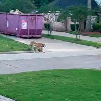Abre la puerta de su casa y encuentra al tigre de su vecino deambulando en la calle